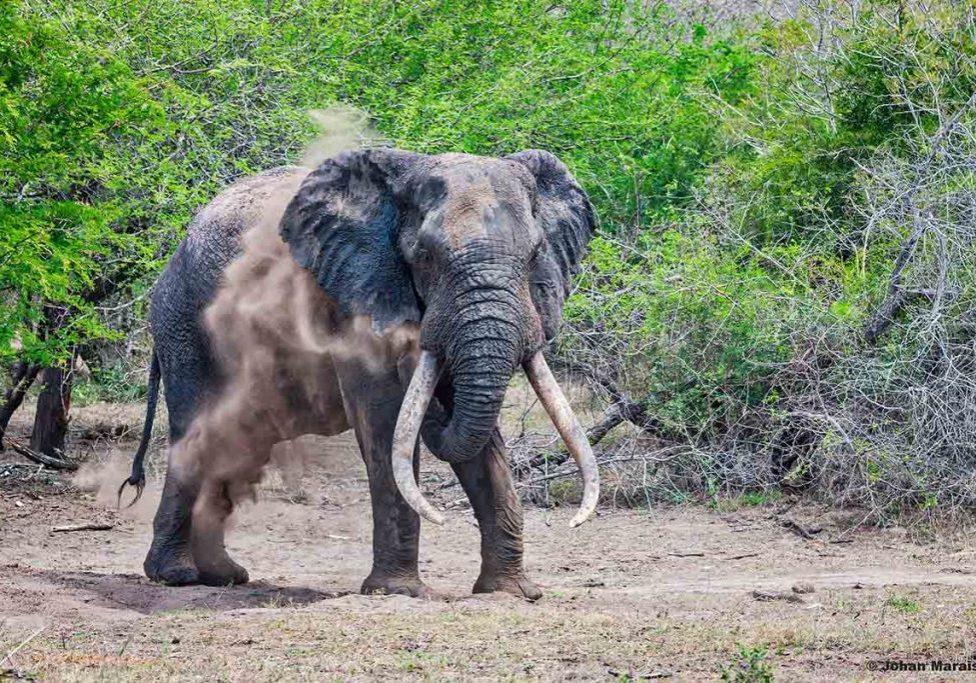 FEATURED IMAGE: Mkadebona, one of the Tembe Elephant Parks' big tuskers. Picture: Johan Marais